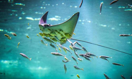 vacances-en-nord-Boulogne-nausicaa-raie-poissons